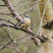21st Nov 2014 - Nuthatch in tree - 21-11