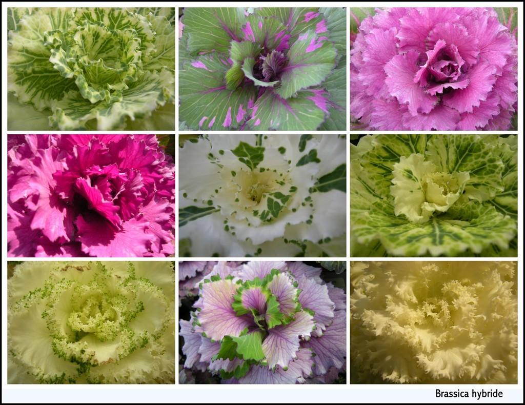 Brassica hybride  by pyrrhula