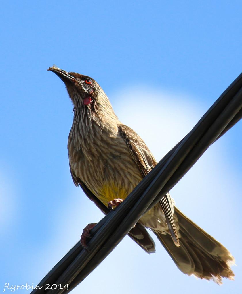 Red wattlebird by flyrobin