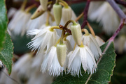 23rd Nov 2014 - The blueberry ash are in flower
