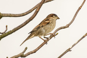 23rd Nov 2014 - Sparrow in a tree against the sky 23-11