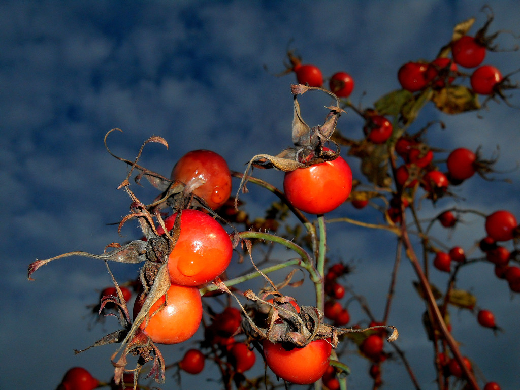 Rose hips....   by snowy