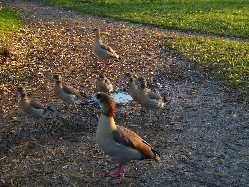 A Family Of Egyptian Geese by snoopybooboo