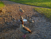 25th Nov 2014 - A Family Of Egyptian Geese