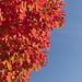 Neighbors Tree (Fall Colors)