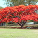 Another Poinciana by terryliv