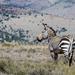 Cape Mountain Zebra by salza