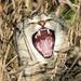 Hear me roar! by cjwhite