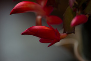 25th Nov 2014 - Christmas Cactus