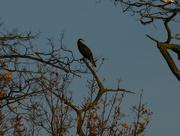 26th Nov 2014 - Cormorant On A Tree