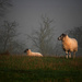 Baa Baa White Sheep by newbank