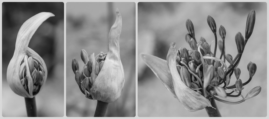 Agapanthus bursting Forth! by salza