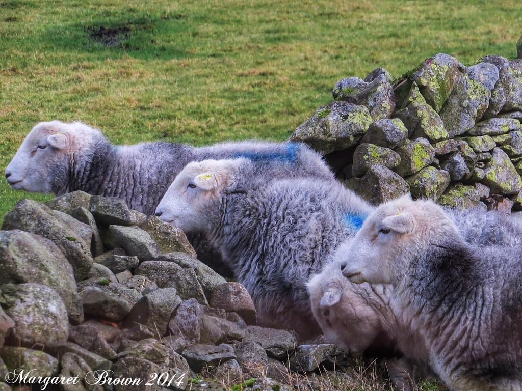 Lakeland Herdwick sheep by craftymeg