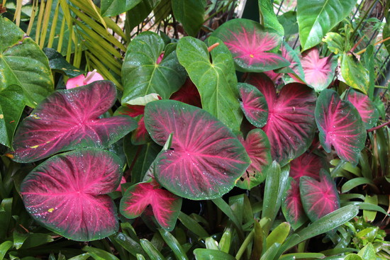 Caladiums 2 by terryliv