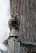 27th Nov 2014 - Squirrel on Post!