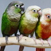 Green Cheek Conures by terryliv