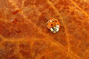 28th Nov 2014 - Ladybug Invasion