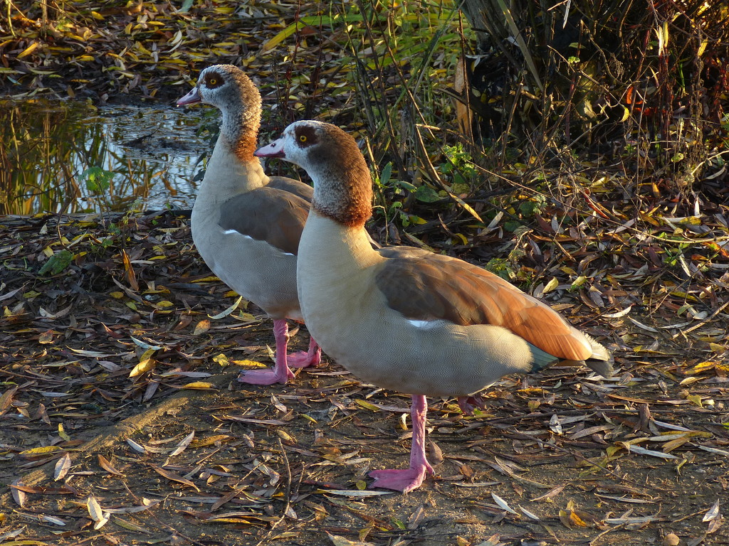 Egyptian Geese by snoopybooboo