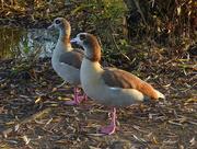 29th Nov 2014 - Egyptian Geese