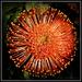 Leucospermum.. Cordifolium by julzmaioro
