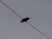26th Nov 2014 - The Crows