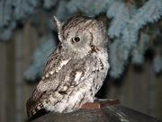 20th Nov 2014 - Owl- One more