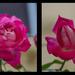 ROSE GARDEN by sangwann