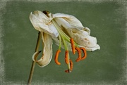 30th Nov 2014 - Was once a lily
