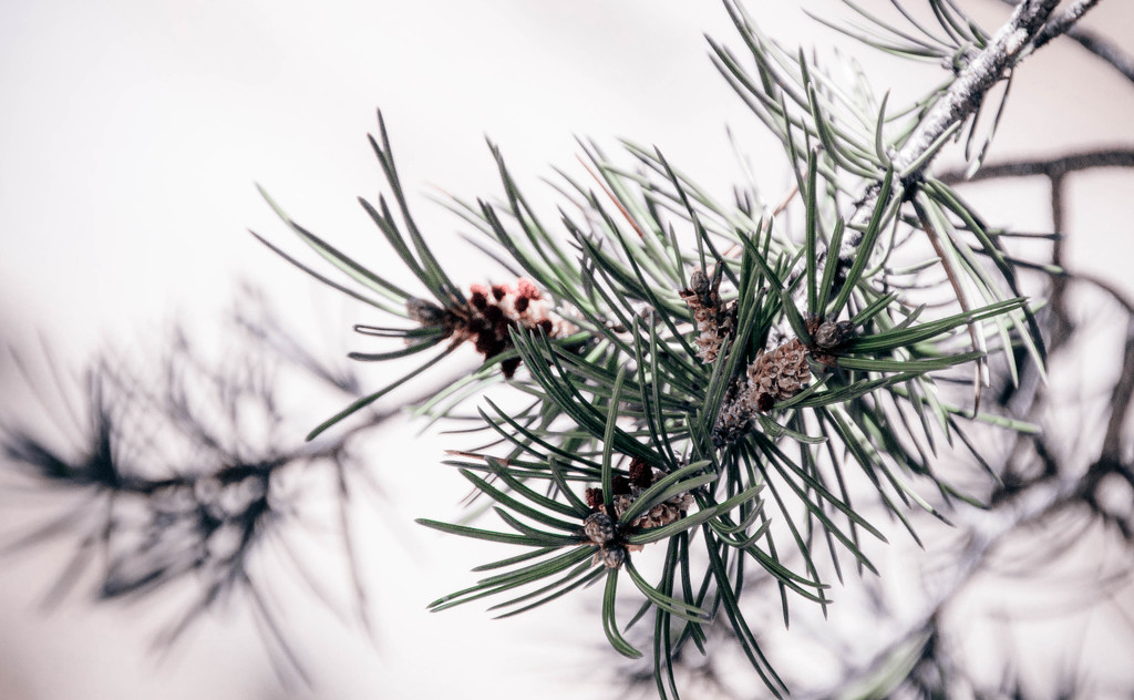Pine Shadows by cdonohoue