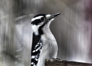30th Nov 2014 - Downy Woodpecker