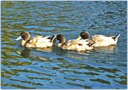 1st Dec 2014 - Three Little Ducks