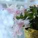 Christmas Cactus Pink by nanderson