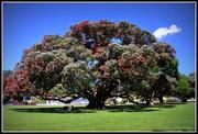2nd Dec 2014 - New Zealand Christmas Tree..