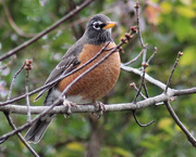 2nd Dec 2014 - Robins and more robins