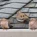 Two Turtle Doves (and a friend) by vickisfotos