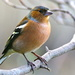CHAFFINCH BRANCHING OUT by markp