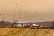 3rd Dec 2014 - It's Raining Crows