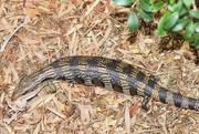 4th Dec 2014 - Lizard Day 1