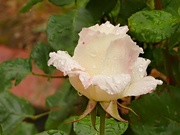 4th Dec 2014 - My white rose