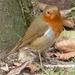 Robin by susiemc