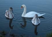 5th Dec 2014 - Swan family