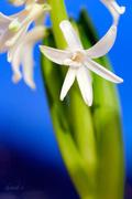 5th Dec 2014 - White hyacinth