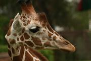 5th Dec 2014 - Giraffe