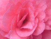 6th Dec 2014 - Pink Petals