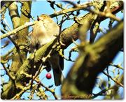 6th Dec 2014 - Chaffinch(female)