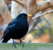 6th Dec 2014 - 6th December 2014 - Blackbird