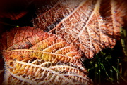 6th Dec 2014 - Frosty Autumn leaves