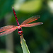 Red Dragonfly by salza