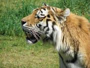 6th Dec 2014 - Tiger
