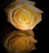 6th Dec 2014 - Ted's Rose
